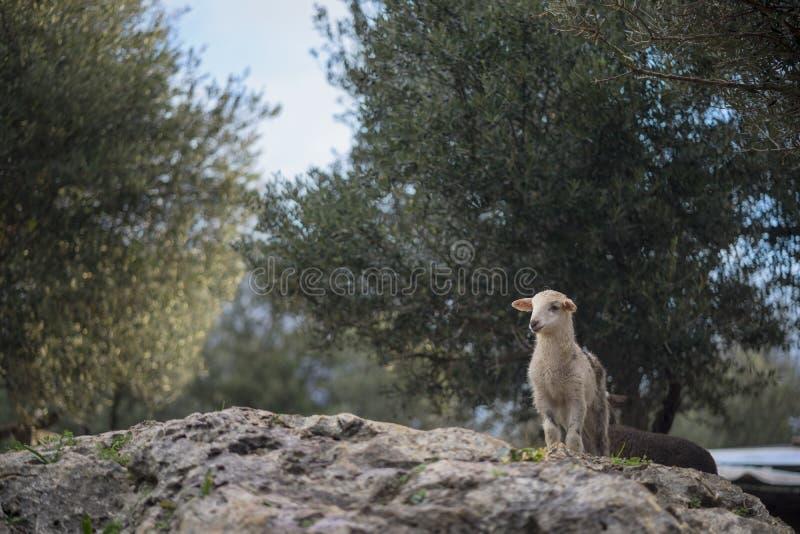 Newborn белые обзоры овечки стоковое фото rf