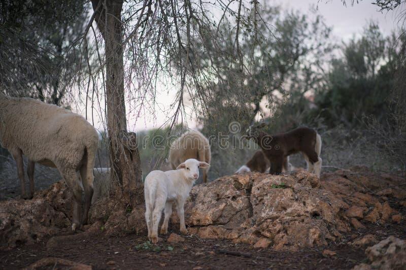 Newborn белые овечка и стадо в зиме стоковая фотография