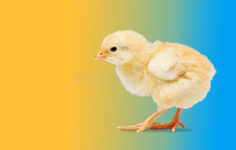 Newborn желтый цыпленок на покрашенной предпосылке стоковые фотографии rf