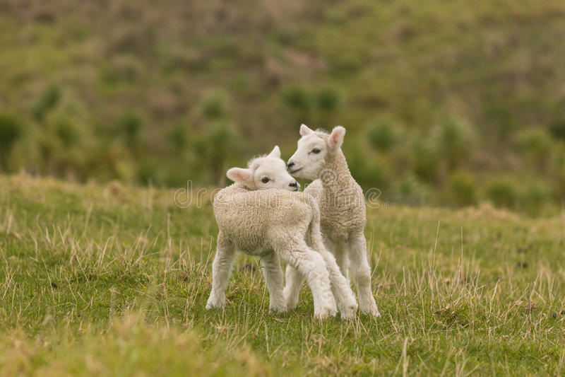 Newborn овечки стоя на луге стоковое изображение rf