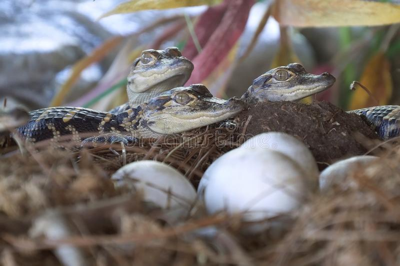 Newborn alligator near the egg laying in the nest. royalty free stock photography