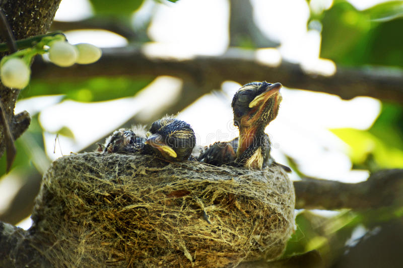 Newborn Australian Willy Wagtail baby birds in nest royalty free stock photography