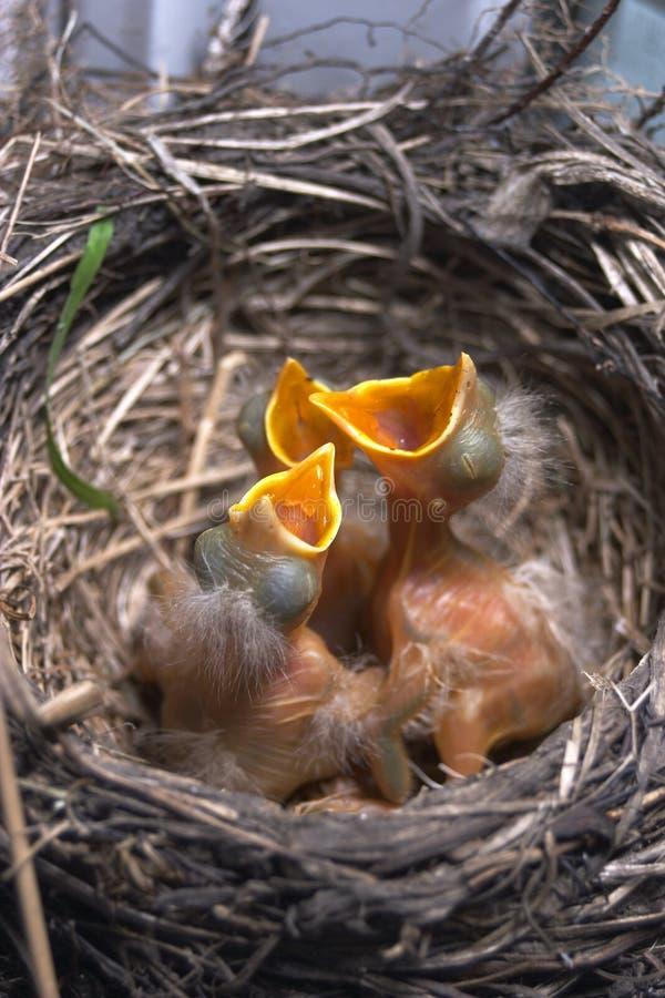 Newborn baby birds in nest stock photos