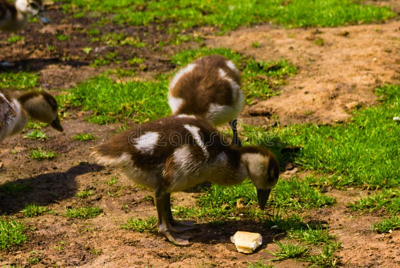 Newborn baby duck playing in the park royalty free stock photography