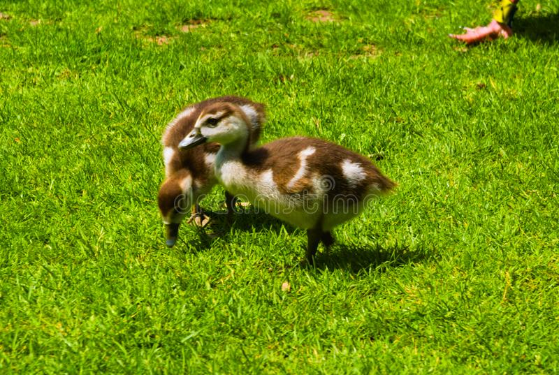 Newborn baby duck playing in the park stock images