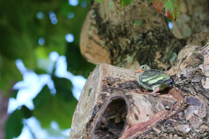 Newborn or Baby Green pigeons bird watching the forest on the tr stock photos