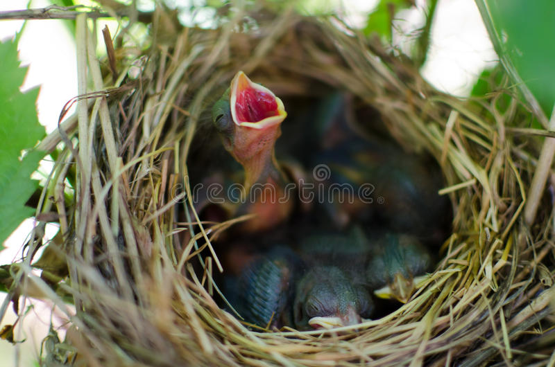Download Newborn Bird Cry For Food In The Nest Stock Photo - Image of hungry, little: 20309522