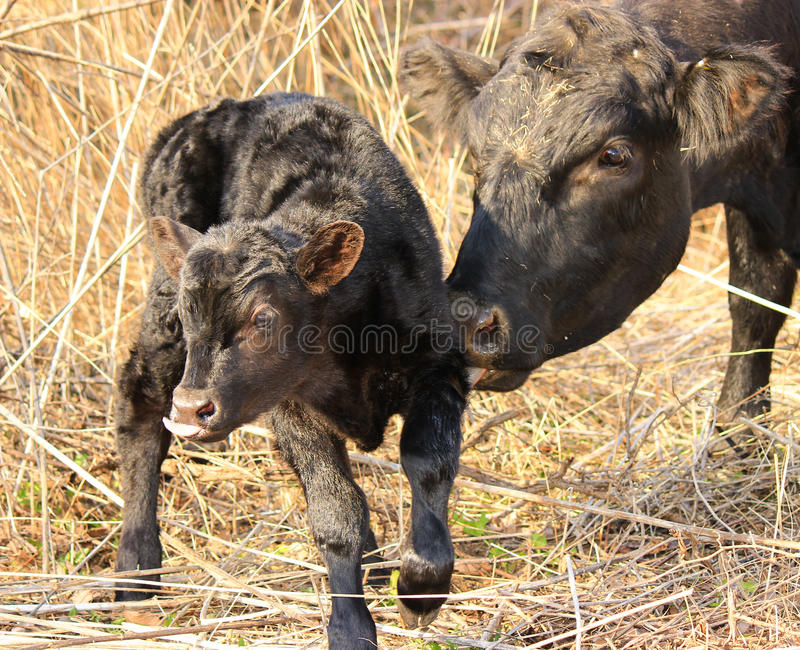 Newborn Calf. A newborn calf being cleaned off by his mother stock photo