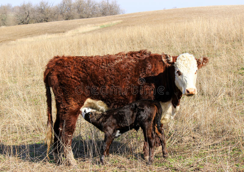 Newborn Calf Eating. A newborn calf drinking from her mother royalty free stock images