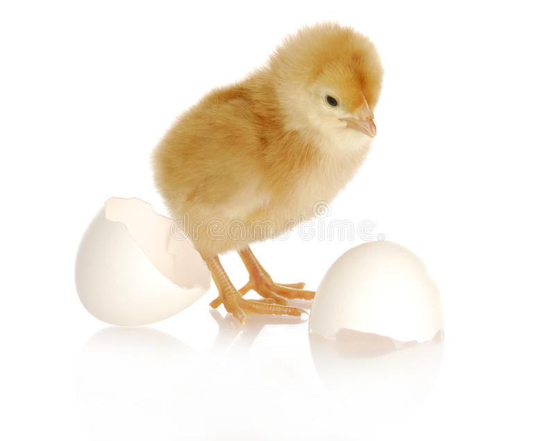 Download Newborn chick stock photo. Image of livestock, cracked - 27203042