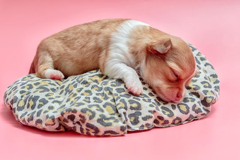 Newborn chihuahua puppy sleeping royalty free stock photos