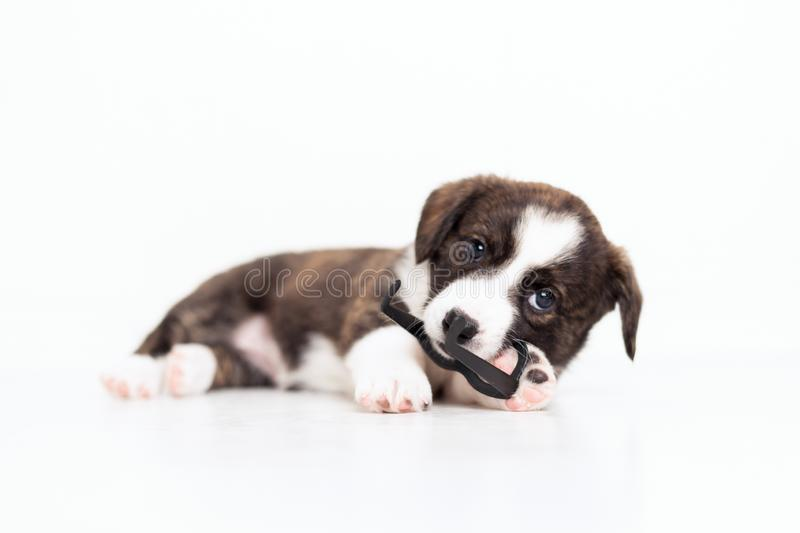 Newborn cute fluffy brown cardigan puppy with hanging ears running around the room and playing with toy plastic glasses stock photography