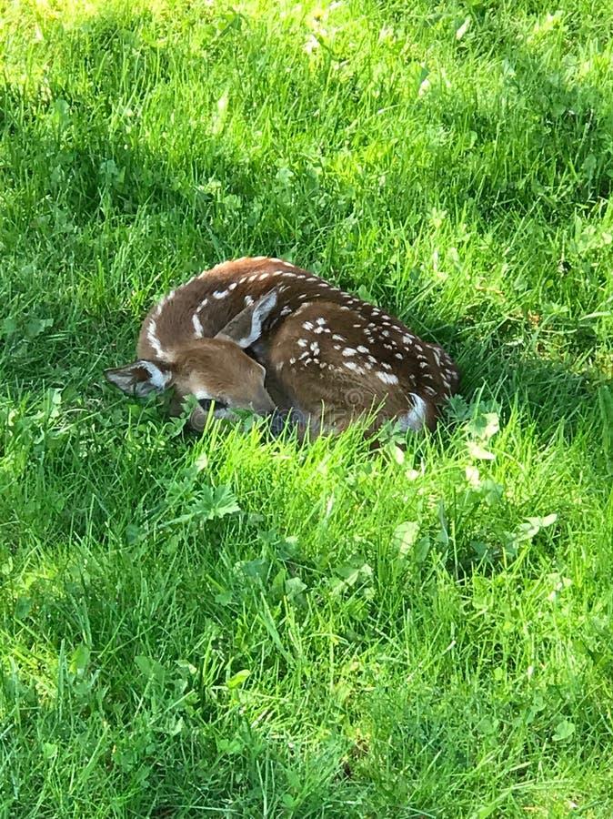 Newborn deer royalty free stock photography