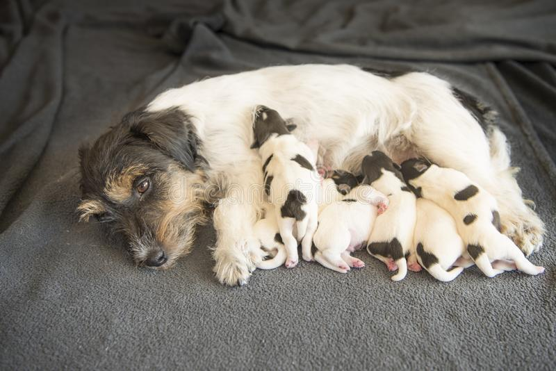 Newborn dog puppies - 8 days old - Jack russell Terrier doggies. Drinking milk on her mother royalty free stock images