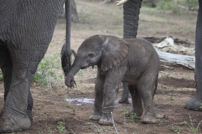 Newborn Elephant Calf, South Africa. royalty free stock images