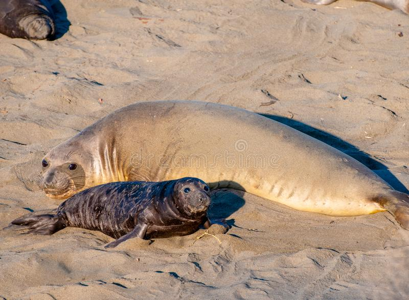 Elephant Seal Mother and Pup royalty free stock photos