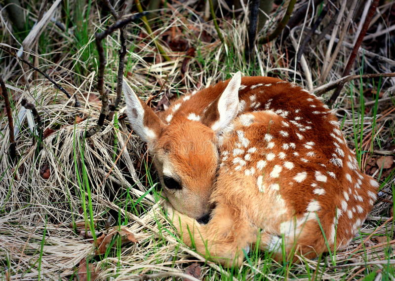 Download Newborn Fawn stock image. Image of mammal, infant, foundling - 14854641