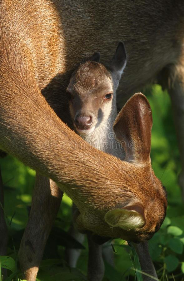 Newborn fawn and doe. New born fawn and doe in solo, central java, indonesia royalty free stock images
