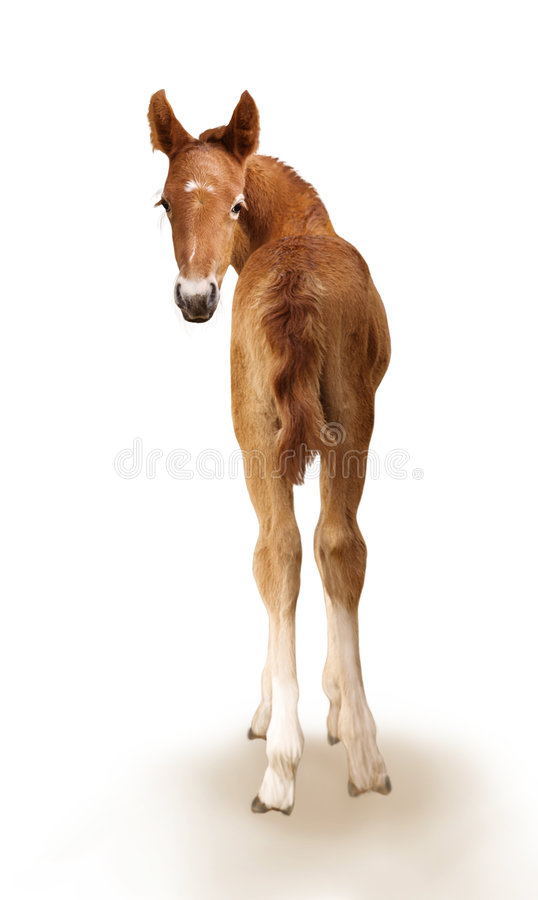 Newborn foal. On the white background stock images
