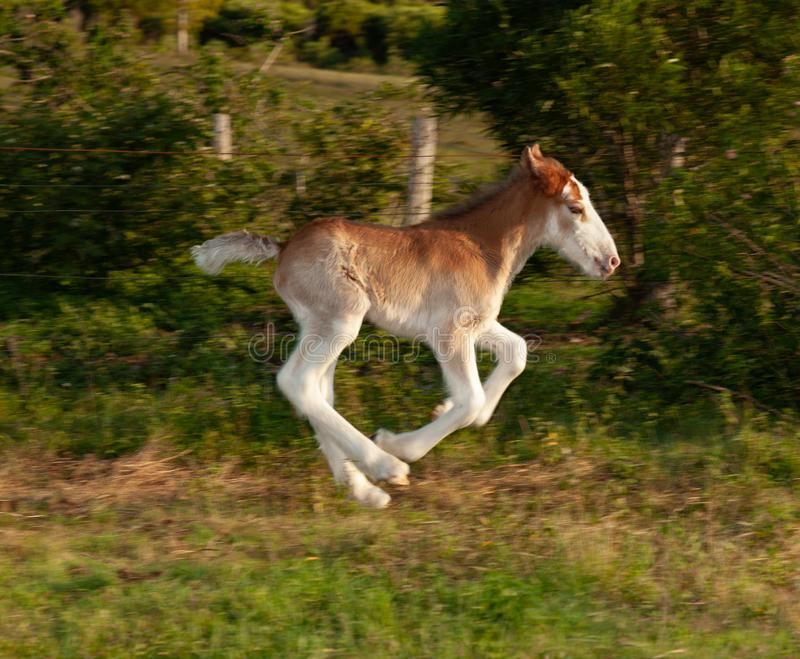 Newborn foal clydesdale horse. Few days old newborn foal clydesdale horse stock photos