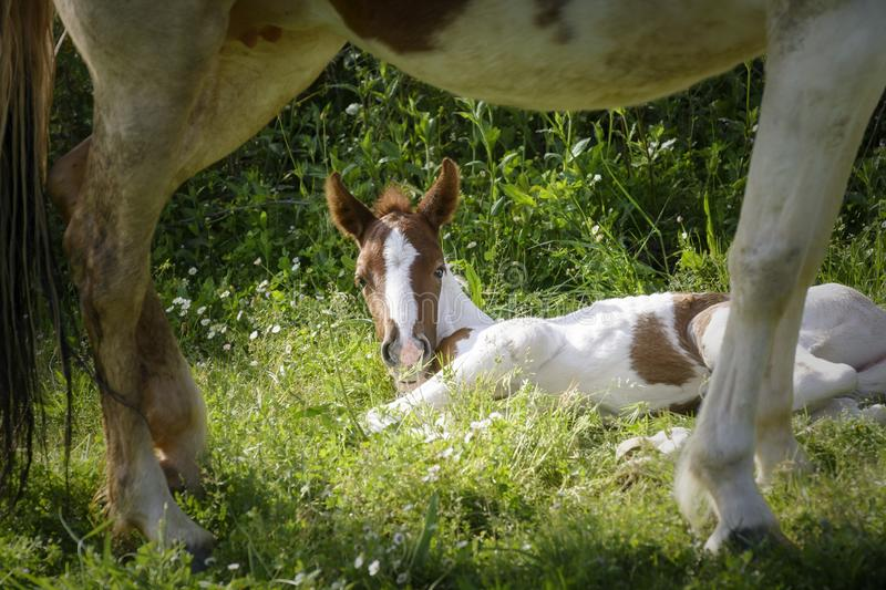 Newborn foal lying behind the legs of its mother royalty free stock photography