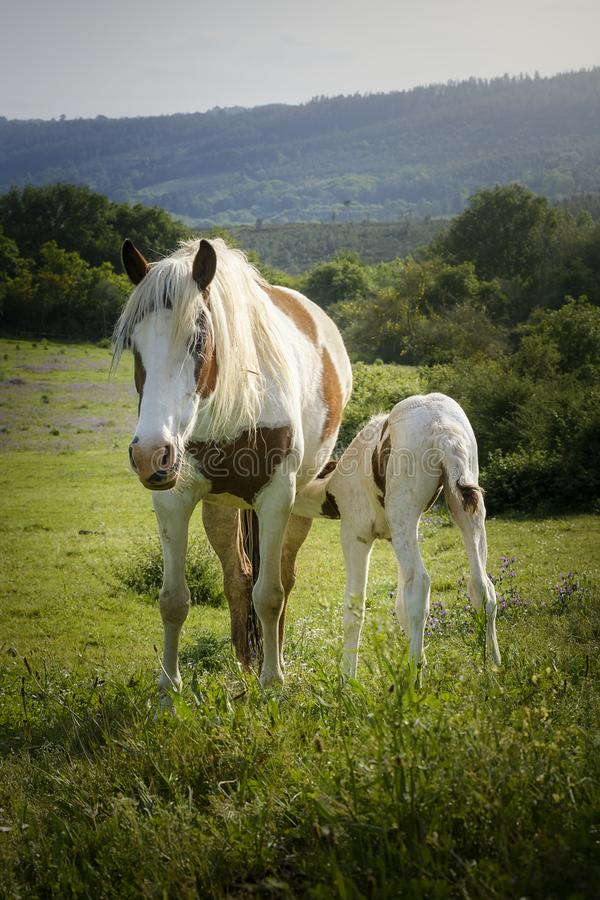 Newborn foal sucking milk from its mother royalty free stock image