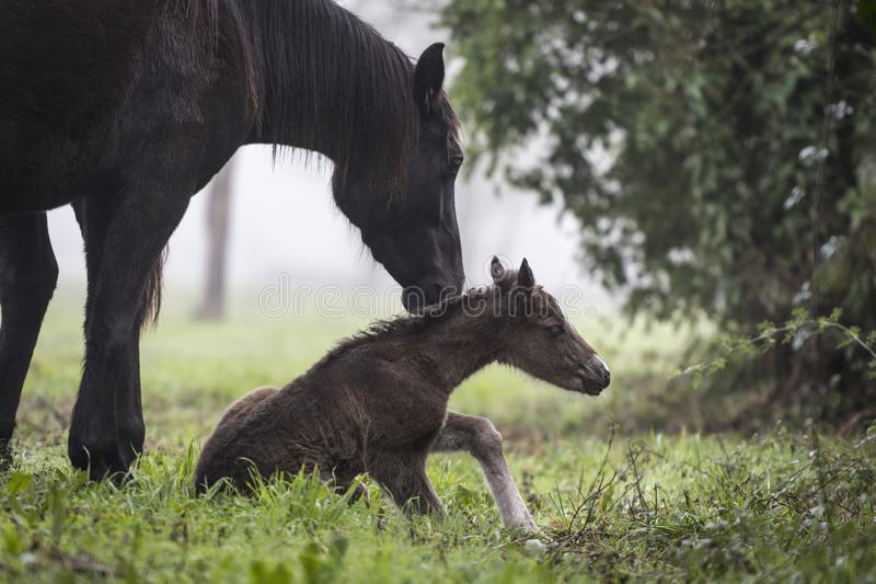 First steps of a newborn foal. Newborn foal trying to get up for the first time in its life in a meadow in a foggy autumn morning royalty free stock image