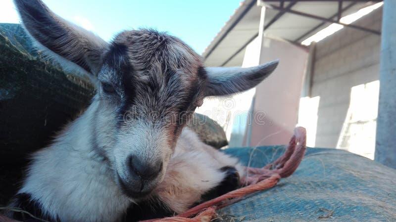 Newborn goat lying on a towel stock photography