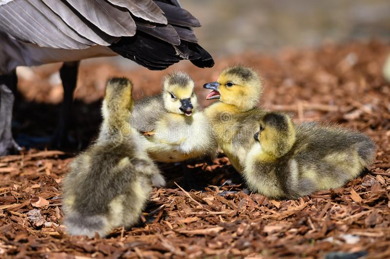 Newborn Goslings Learning to Complain, Argue, Scrabble and Squawk. At Each Other stock photo