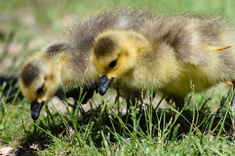 Newborn Goslings Learning to Search for Food. Adorable Newborn Goslings Learning to Search for Food royalty free stock image
