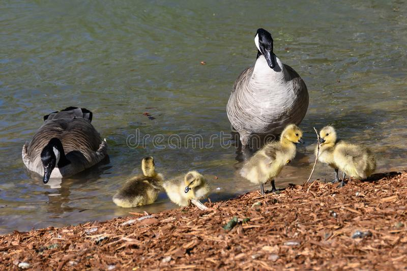 Newborn Goslings Learning Under the Watchful Eye of Mother and Father. Adorable Newborn Goslings Learning Under the Watchful Eye of Mother and Father stock photos