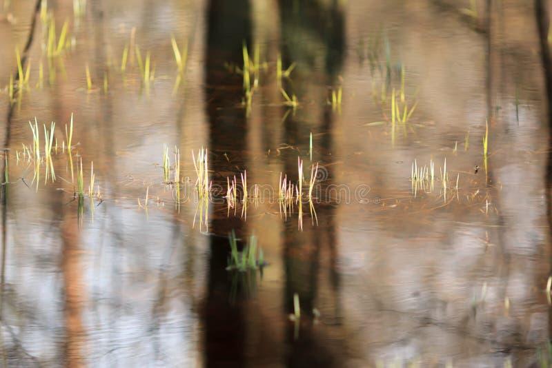 Newborn grass in backwater royalty free stock photo