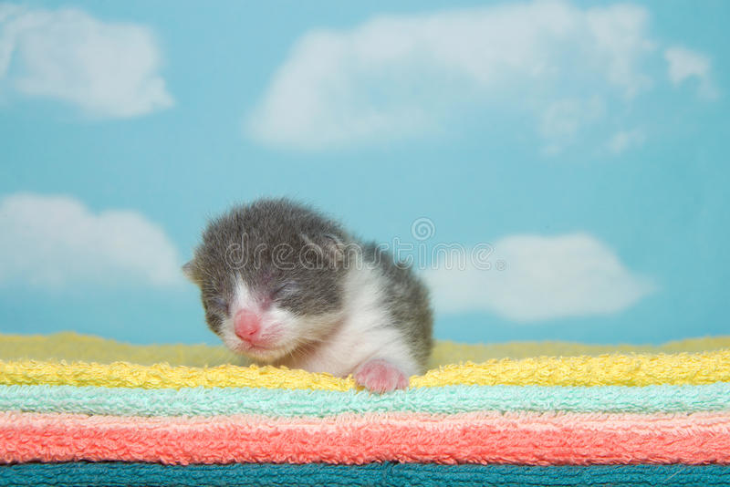 Newborn gray and white kitten on fluffy towels. Newborn gray and white kitten, eyes closed, laying on yellow, aqua, peach, orange and green towels with blue sky stock photography