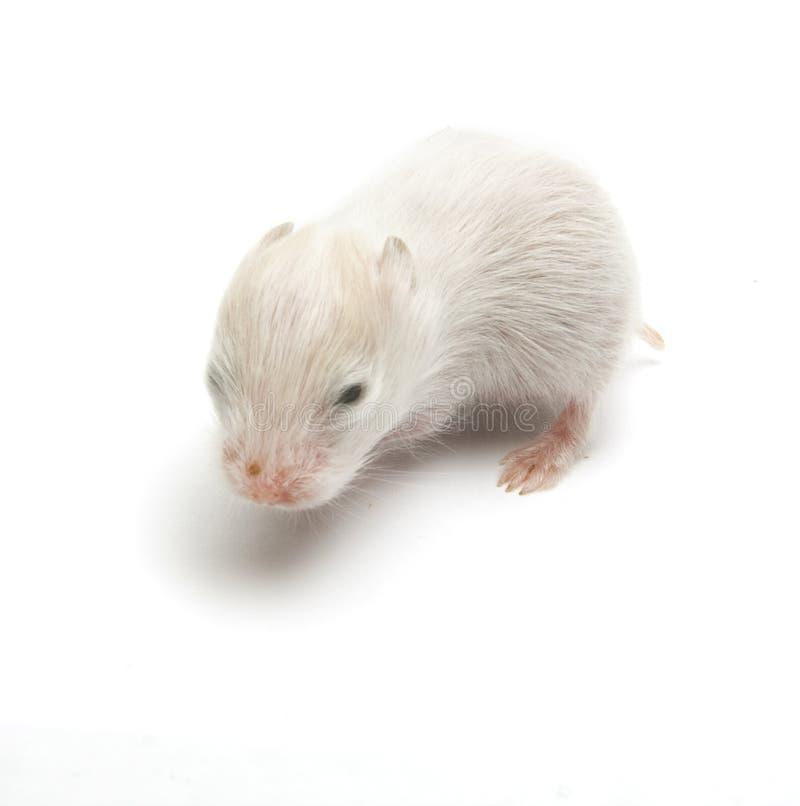 Free Newborn Hamster Royalty Free Stock Photos - 19208948