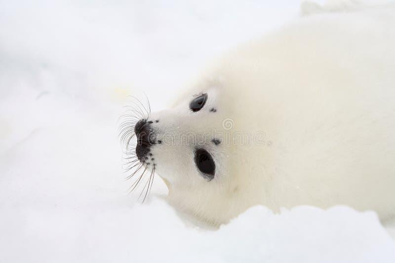Newborn harp seal pup stock images