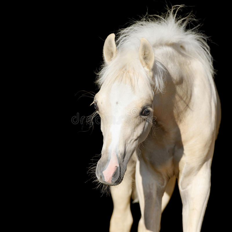 Free Newborn Horse Baby, Welsh Pony Foal Isolated On Black Stock Photo - 29646980