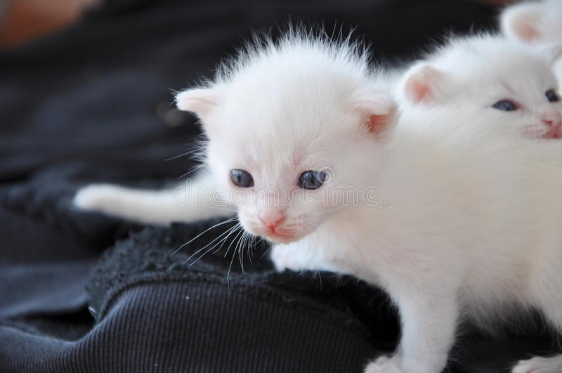 Newborn kitten royalty free stock photo