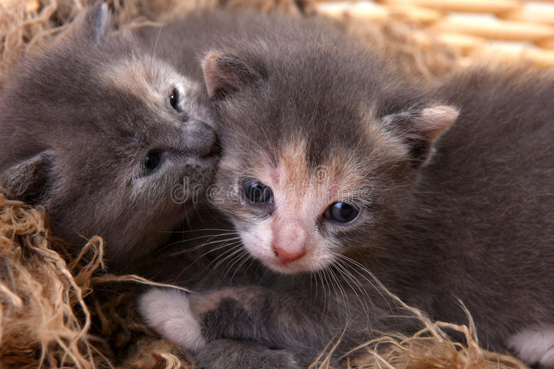 Download Newborn Kitten in a Basket stock photo. Image of kitty - 21223736