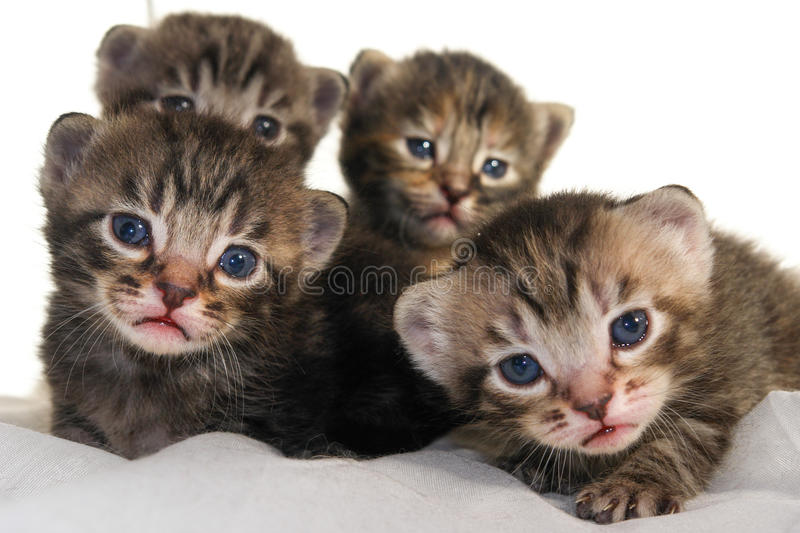 Newborn kittens on white background stock photography