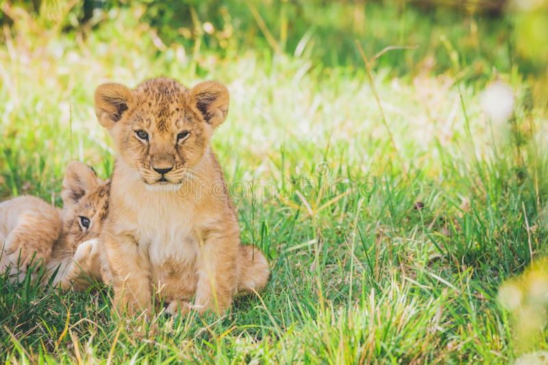 Newborn lion cubs are cuddling in the grass. royalty free stock photos