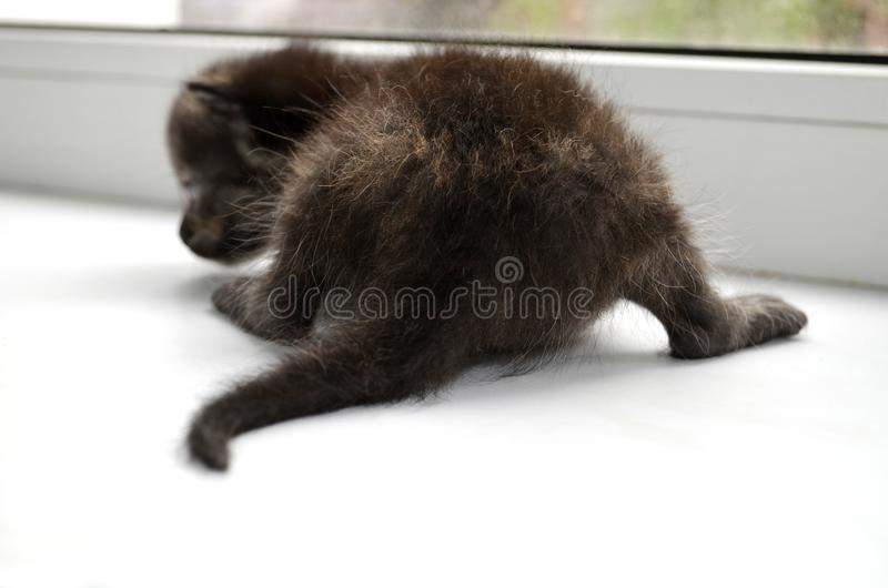 A newborn little fluffy chocolate kitten sits on a white window sill with its tail first. Pets: Cats. A newborn little fluffy chocolate kitten sits on a white royalty free stock photo