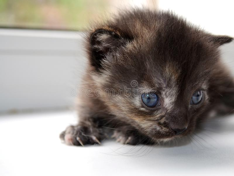 A newborn little fluffy chocolate kitten sits on a white window sill with its tail first. Pets: Cats. A newborn little fluffy chocolate kitten sits on a white stock image