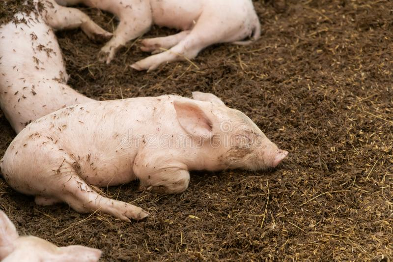 Newborn piglet lying on floor in organic rural farm agricultural stock photo