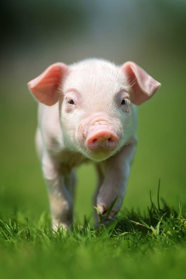 Newborn piglet on spring green grass. On a farm royalty free stock image