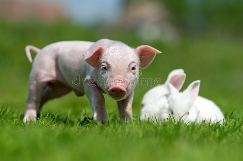 Piglet and white rabbit on spring green grass on a farm. Newborn piglet and white rabbit on spring green grass on a farm royalty free stock image