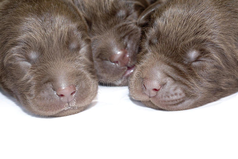Newborn puppies royalty free stock photos