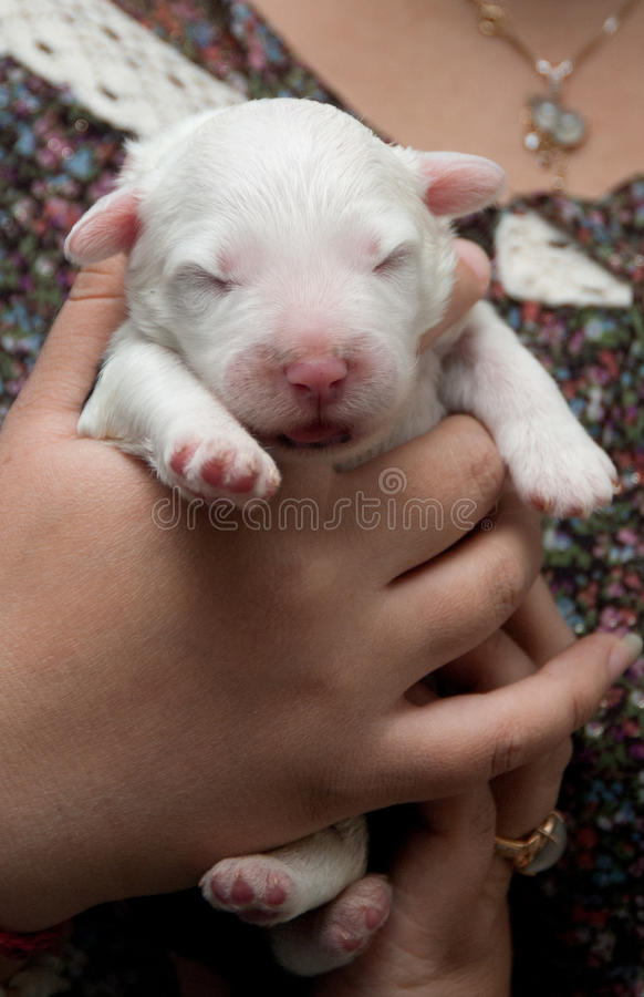 Download Newborn Puppy Dog Stock Image - Image: 21647081