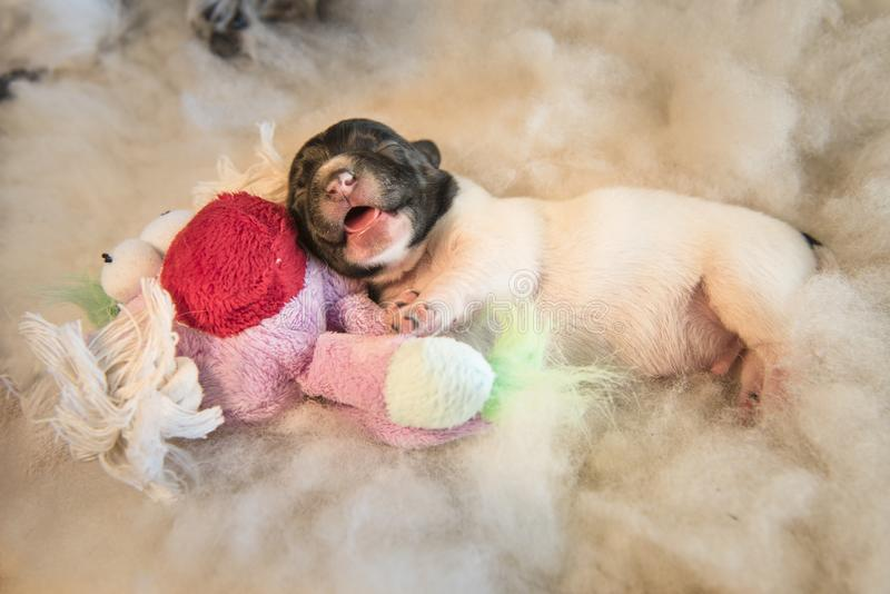 Newborn puppy dogs with toy - three days old jack Russell Terrier doggy is lying on a white background royalty free stock photos