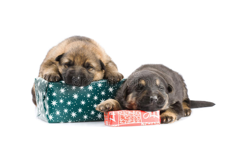 Download Newborn puppys stock photo. Image of packing, breed, christmas - 11669484