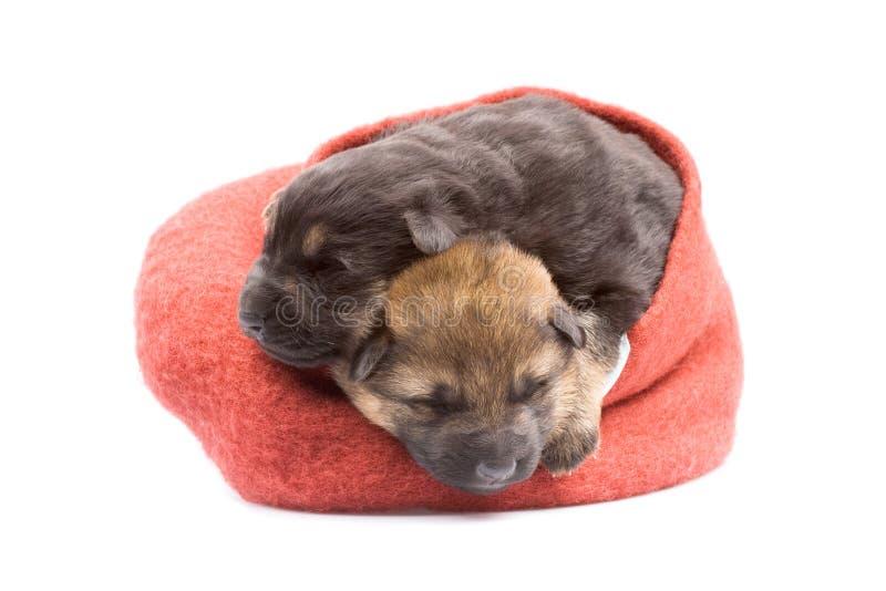 Newborn puppys royalty free stock photography